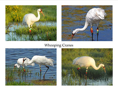 Photo Note Cards - Whooping Cranes